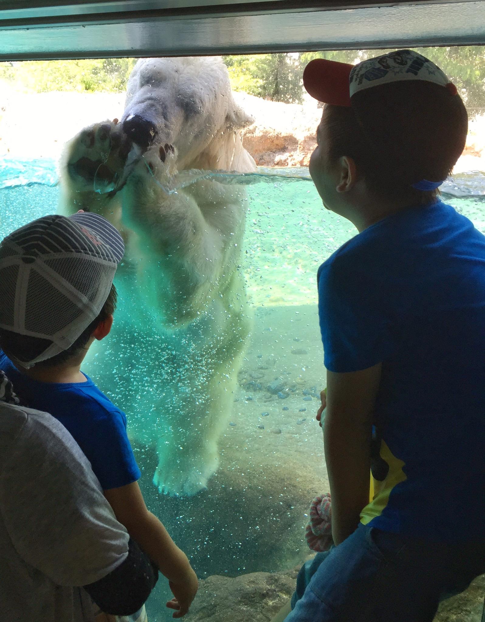 動物園で白クマを見るせんちゃん、そうちゃん