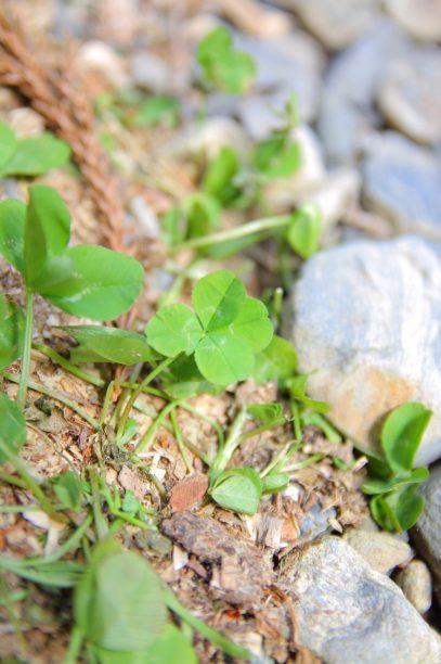 よつ葉のクローバー